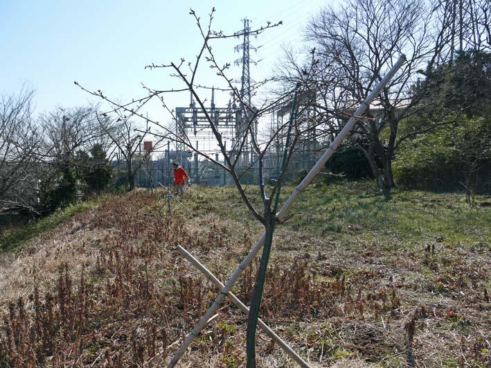 3年連続野口初太郎頌徳碑建立地の河津桜に肥料:2・11 _c0014967_1251362.jpg