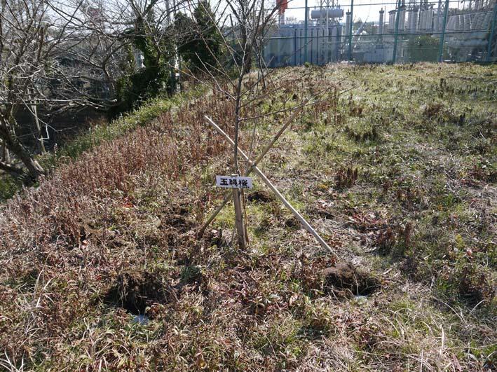 3年連続野口初太郎頌徳碑建立地の河津桜に肥料:2・11 _c0014967_12533856.jpg