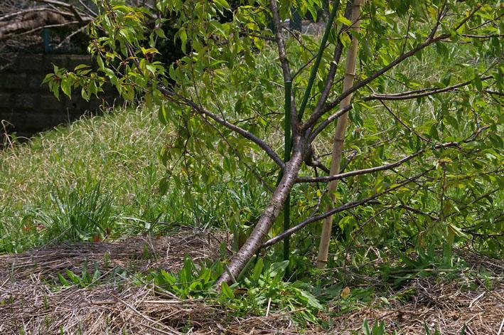 3年連続野口初太郎頌徳碑建立地の河津桜に肥料:2・11 _c0014967_1257353.jpg