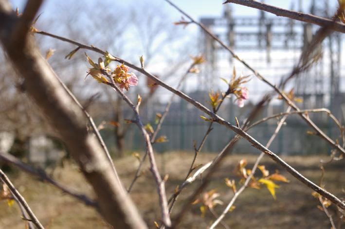 3年連続野口初太郎頌徳碑建立地の河津桜に肥料:2・11 _c0014967_12575753.jpg
