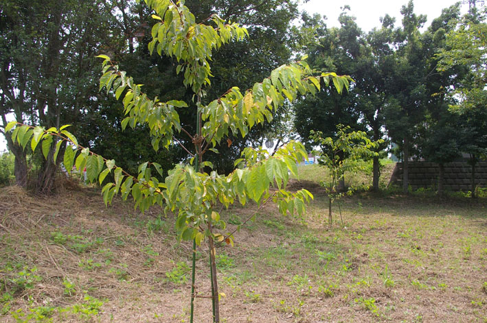 3年連続野口初太郎頌徳碑建立地の河津桜に肥料:2・11 _c0014967_12583753.jpg