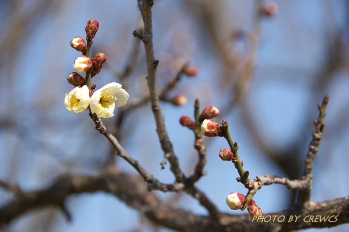 梅の花 開く_e0056449_13303584.jpg
