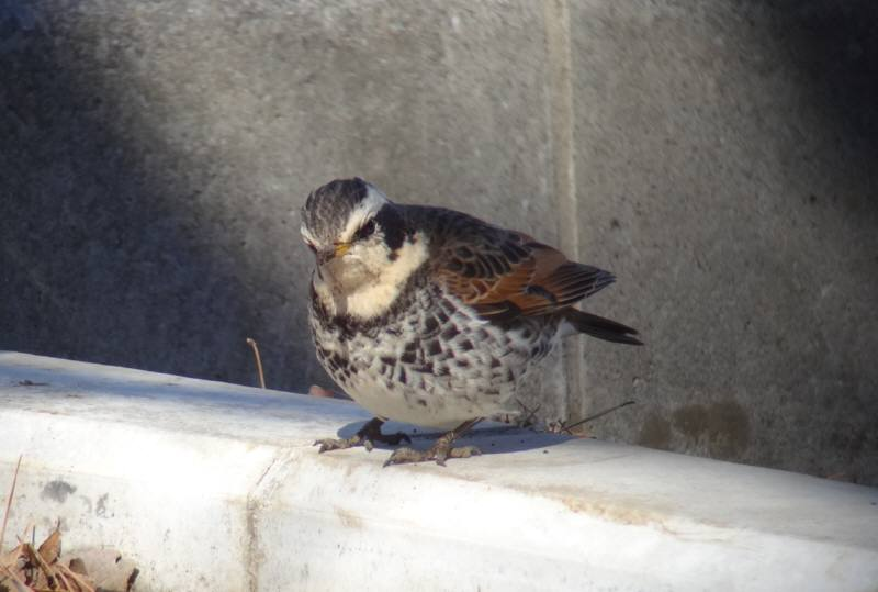 多磨霊園で冬の野鳥観察会_f0059673_20551290.jpg