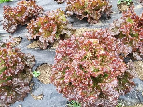 サラダに...レタスが寒さに負けず成長中です。_b0137932_19332236.jpg