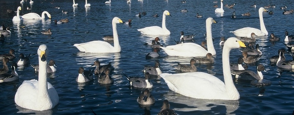 北国ですごす白鳥たち_f0159629_17575062.jpg