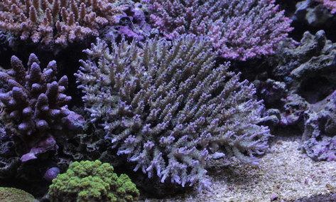 今週もスタート!海水魚&サンゴ入荷!_d0221436_2344833.jpg