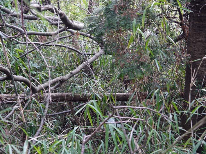 予想遙かに上回る倒木、枯れ木:2・16六国見山定例手入れ_c0014967_1038086.jpg