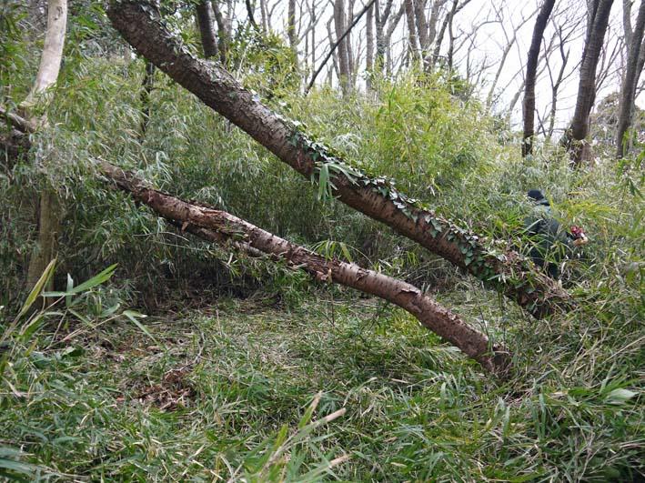 予想遙かに上回る倒木、枯れ木:2・16六国見山定例手入れ_c0014967_10391732.jpg