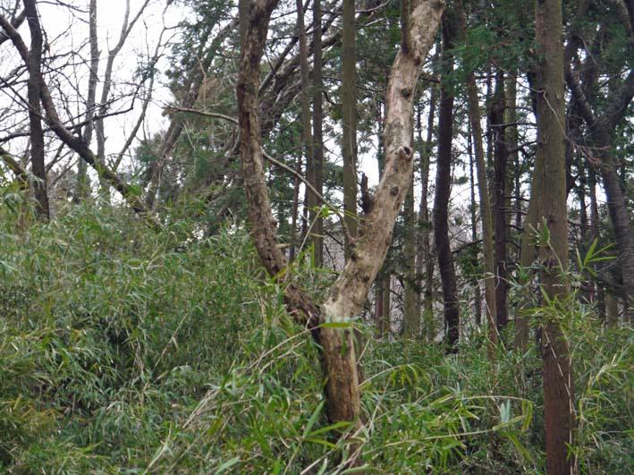 予想遙かに上回る倒木、枯れ木:2・16六国見山定例手入れ_c0014967_10405761.jpg