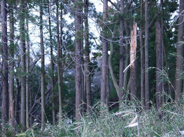 検証:六国見山の樹木はなぜ、かくも多数倒れ、折れるのか_c0014967_12275559.jpg
