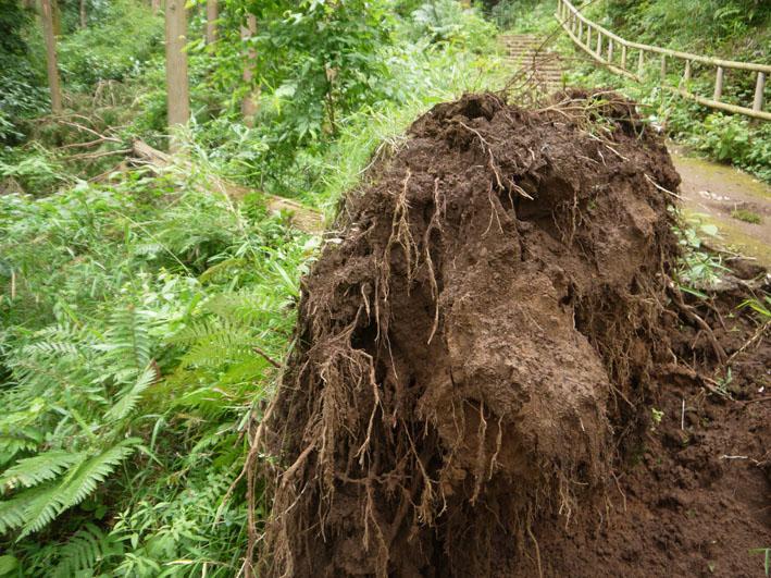 検証:六国見山の樹木はなぜ、かくも多数倒れ、折れるのか_c0014967_12324574.jpg