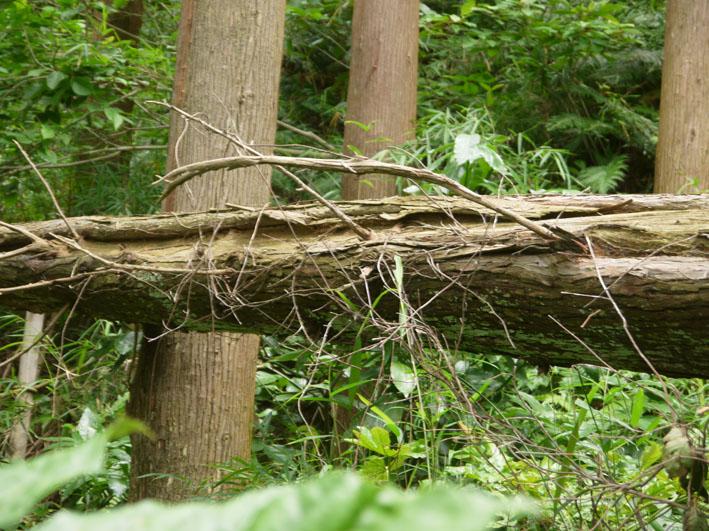 検証:六国見山の樹木はなぜ、かくも多数倒れ、折れるのか_c0014967_1233094.jpg