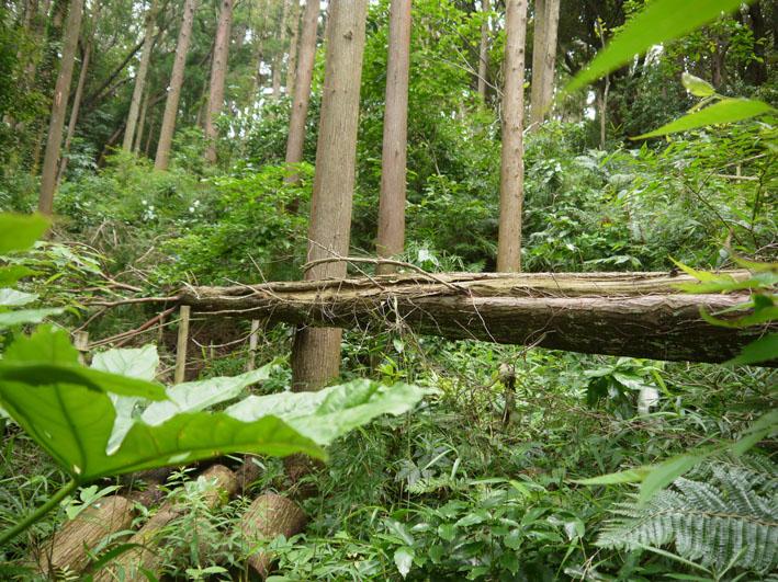 検証:六国見山の樹木はなぜ、かくも多数倒れ、折れるのか_c0014967_12332383.jpg