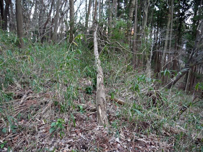 検証:六国見山の樹木はなぜ、かくも多数倒れ、折れるのか_c0014967_12375599.jpg