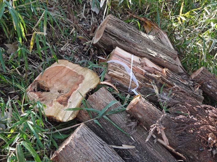検証:六国見山の樹木はなぜ、かくも多数倒れ、折れるのか_c0014967_12395976.jpg