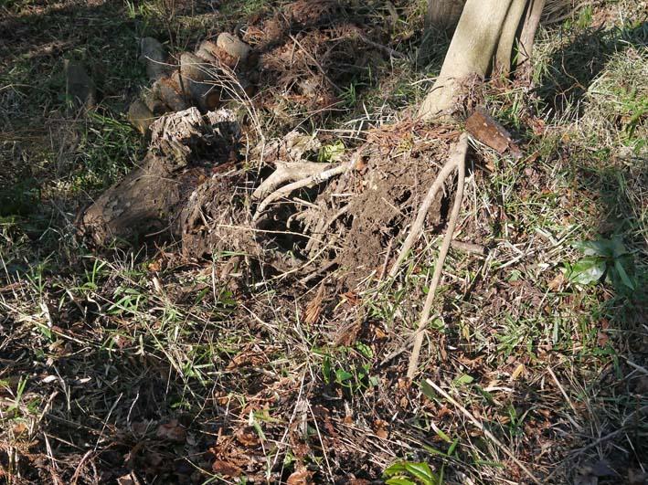 検証:六国見山の樹木はなぜ、かくも多数倒れ、折れるのか_c0014967_12403168.jpg