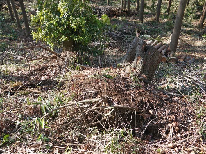 検証:六国見山の樹木はなぜ、かくも多数倒れ、折れるのか_c0014967_12423297.jpg
