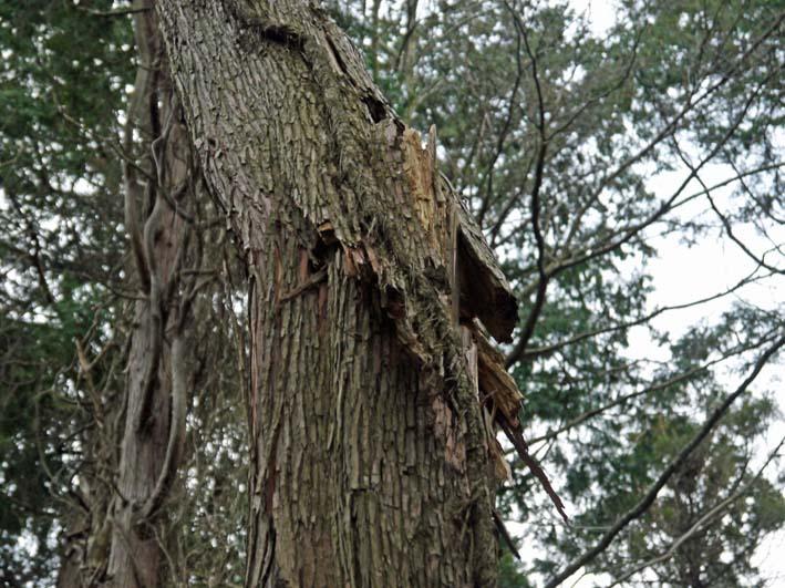 検証:六国見山の樹木はなぜ、かくも多数倒れ、折れるのか_c0014967_12452395.jpg