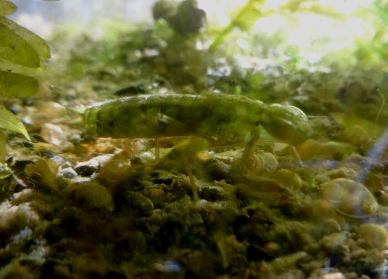 メダカの水槽にヤゴ発見_f0059673_014587.jpg