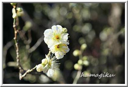 近くの公園でも梅が咲き始めました_e0305388_154413.jpg