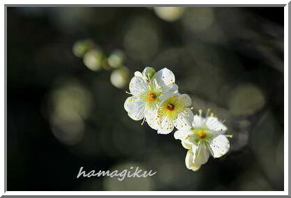 近くの公園でも梅が咲き始めました_e0305388_15442888.jpg