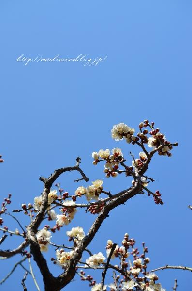 梅の花_d0025294_19524379.jpg