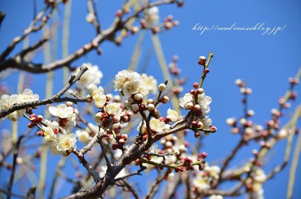 梅の花_d0025294_19525684.jpg