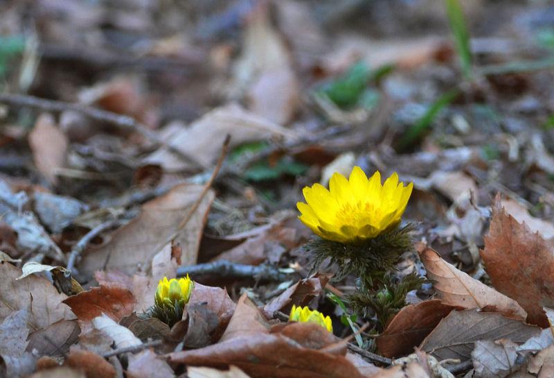 2月中旬 ミヤマホオジロと春の兆し・・・_b0078795_19214975.jpg