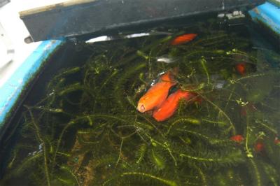 金魚の大産卵_c0180460_2245810.jpg