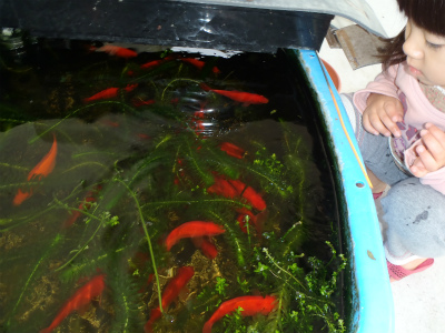 金魚の大産卵_c0180460_2272661.jpg