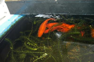 金魚の大産卵_c0180460_233572.jpg