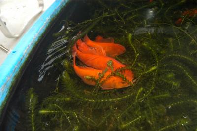 金魚の大産卵_c0180460_2343216.jpg