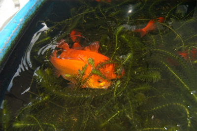 金魚の大産卵_c0180460_235183.jpg