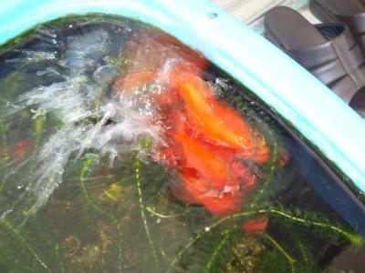 金魚の大産卵_c0180460_236653.jpg