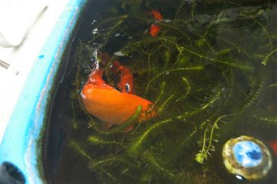 金魚の大産卵_c0180460_2372673.jpg
