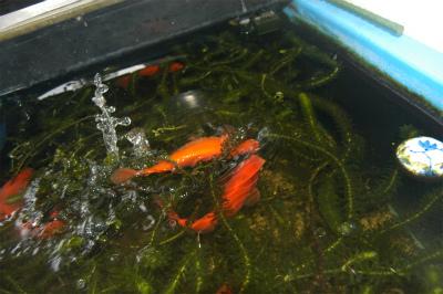 金魚の大産卵_c0180460_2381573.jpg