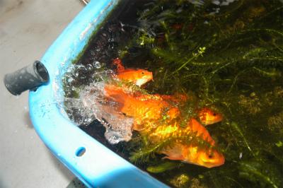 金魚の大産卵_c0180460_2385484.jpg