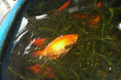 金魚の大産卵_c0180460_2401786.jpg