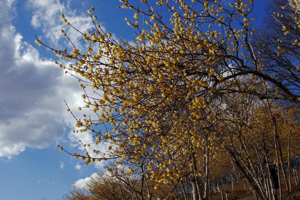 宝登山の蝋梅を撮る_c0252688_133647100.jpg