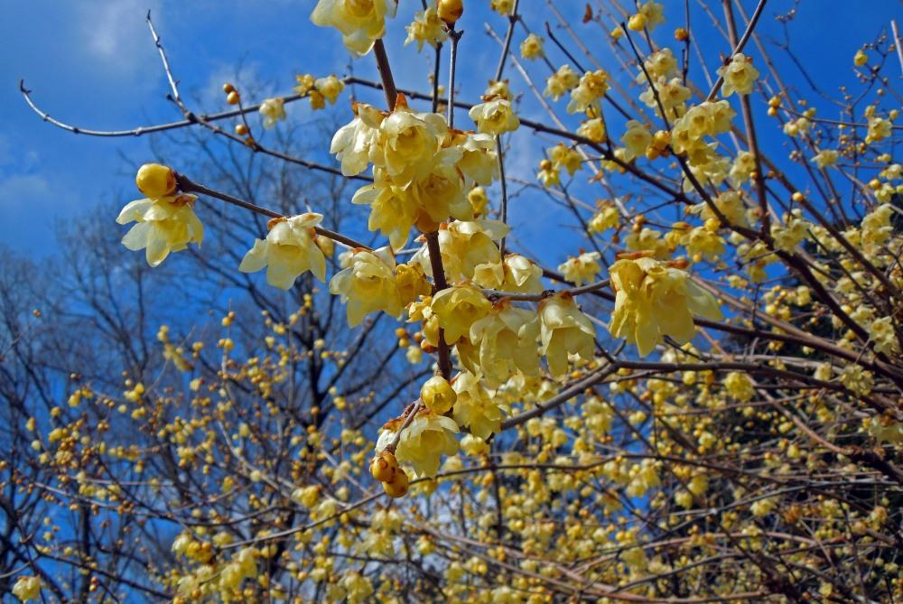 宝登山の蝋梅を撮る_c0252688_13374555.jpg