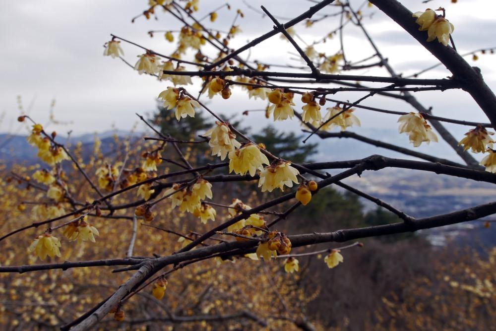 宝登山の蝋梅を撮る_c0252688_13434980.jpg