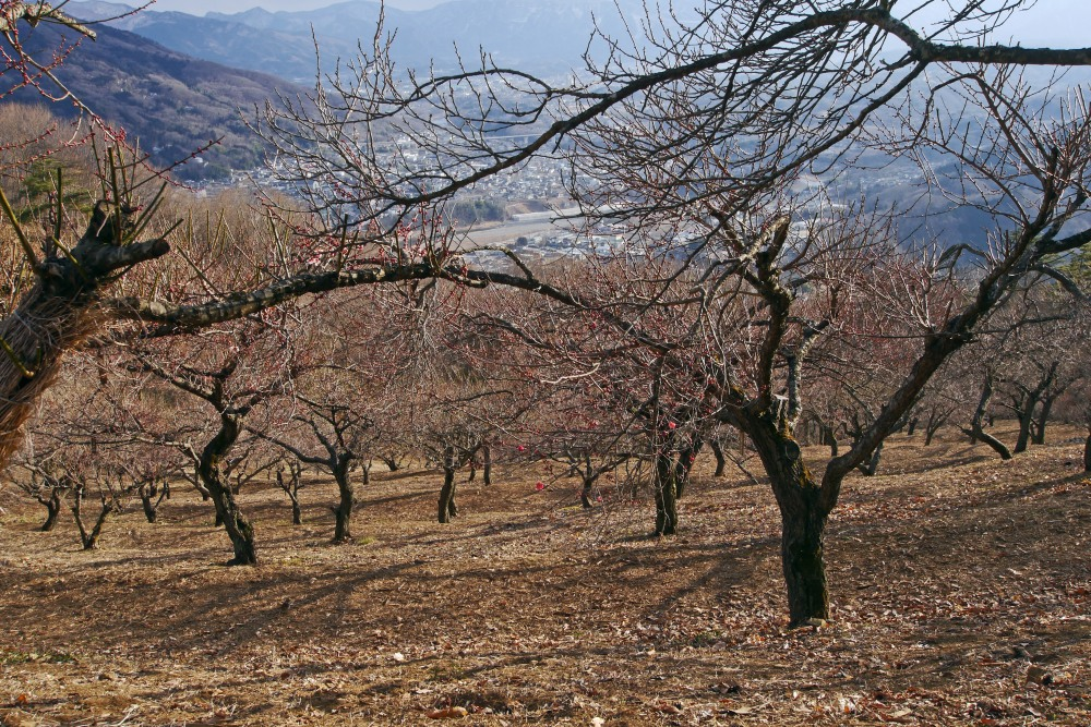 宝登山の蝋梅を撮る_c0252688_13475999.jpg