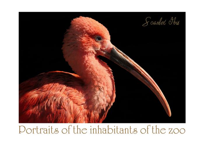 ショウジョウトキ:Scarlet Ibis_b0249597_1073080.jpg