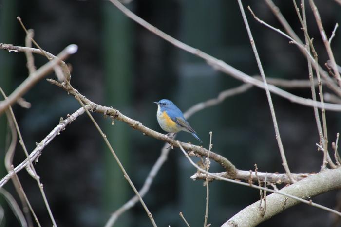 2013.2.22 里山公園・ルリビタキ、コガモ、メジロ_c0269342_2033652.jpg