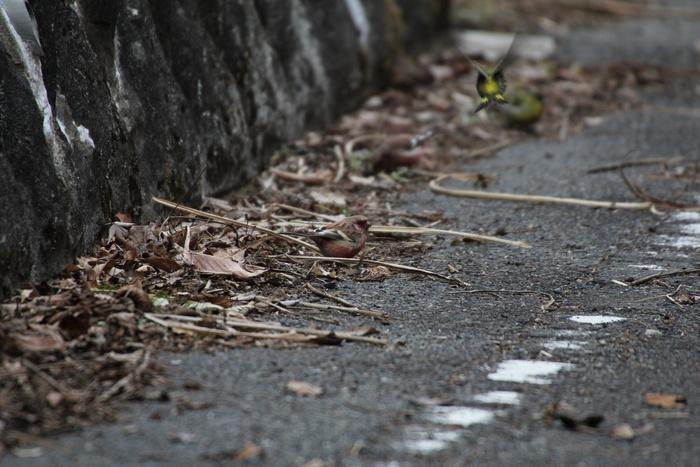 2013.2.23 早戸川林道・ベニマシコ、マヒワ、カワラヒワ_c0269342_23383722.jpg