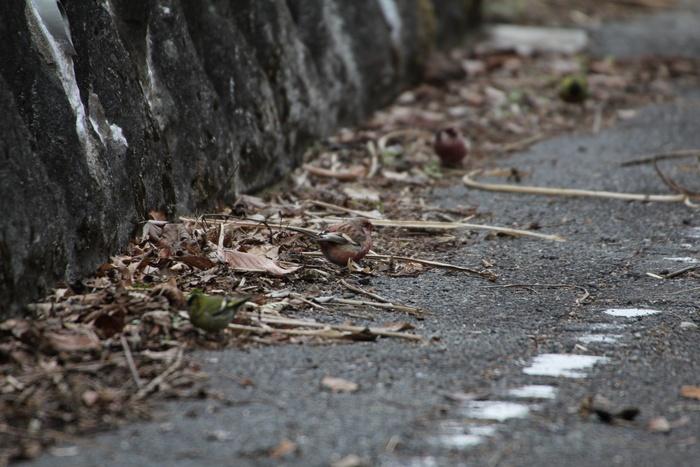 2013.2.23 早戸川林道・ベニマシコ、マヒワ、カワラヒワ_c0269342_23391846.jpg