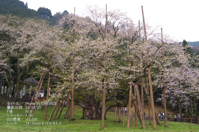 日本三大桜_e0056449_2213265.jpg