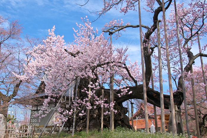日本三大桜_e0056449_2281415.jpg