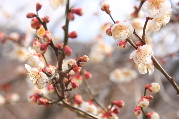 SKY130223 紅白の梅の花、しだれ梅の花は柔らかい曲線を描きとっても美しい。_d0288367_20275171.jpg