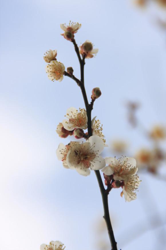 SKY130223 紅白の梅の花、しだれ梅の花は柔らかい曲線を描きとっても美しい。_d0288367_2028524.jpg